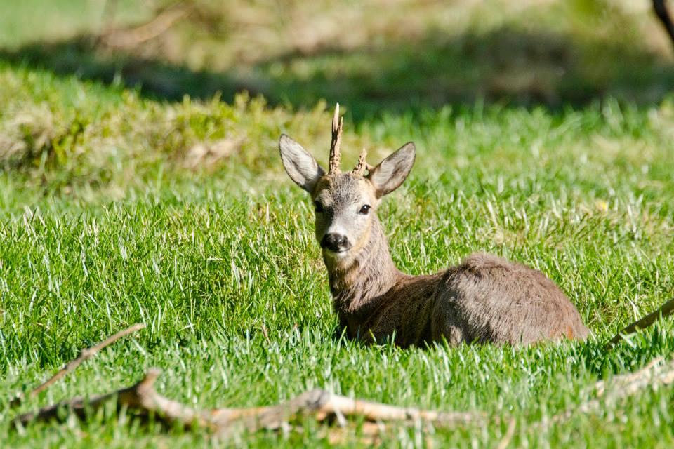Fauna in Trentino – Il Capriolo