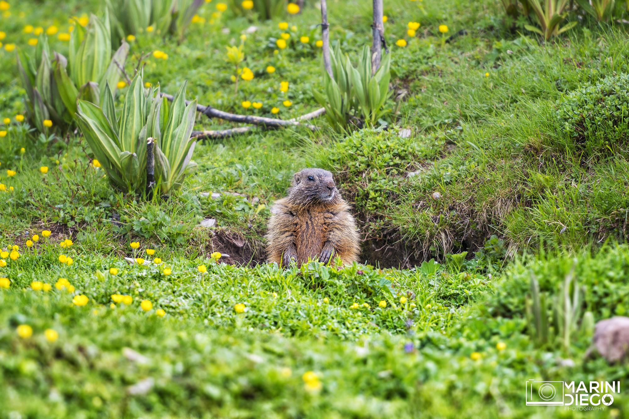 Le marmotte del Peller